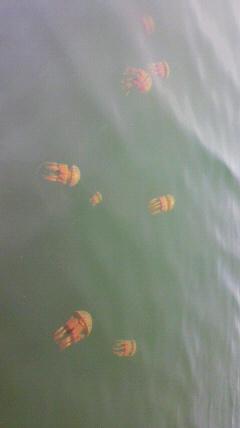 タコクラゲがいっぱい